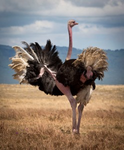An ostrich. Tastier than it looks.
